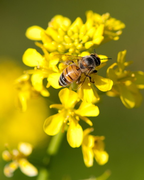 Honey Bee on a Broccoli Flower