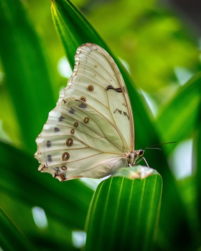 White Morpho Butterfly