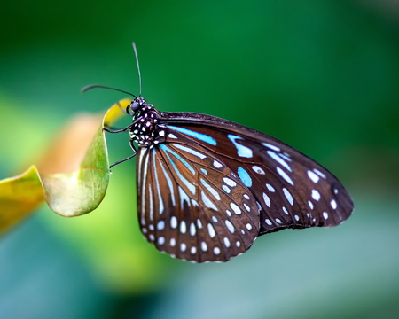 Blue Glassy Tiger Butterfly