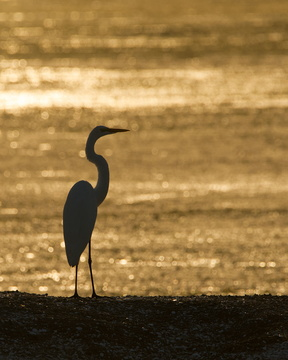 White Heron at Sunrise
