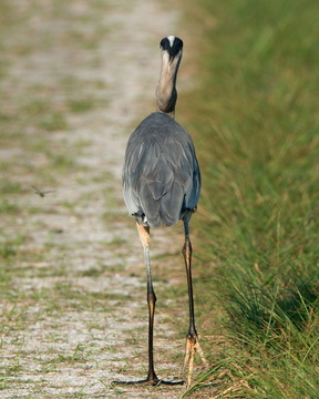 Great Blue Heron (rear view)