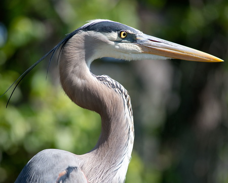 Greate Blue Heron