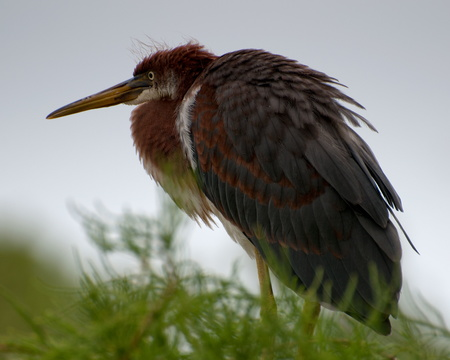 Tri-colored Heron (juvenile)