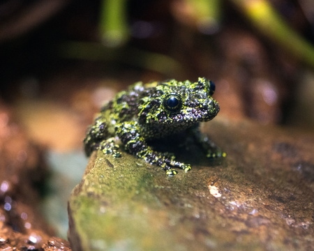 Mossy Frog